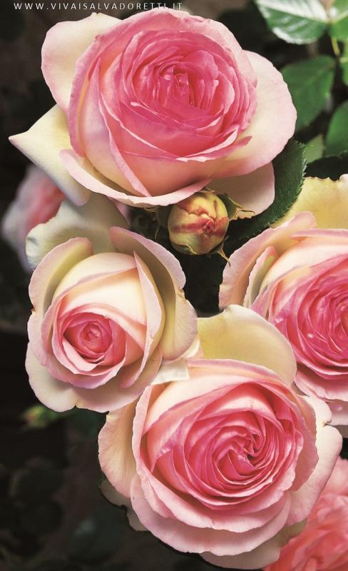 Rosa rampicante sarmentosa rosa meilland 39 eden rose for Rose meilland