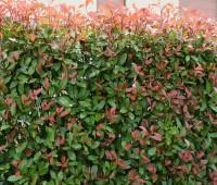 Vivaio: arbusto