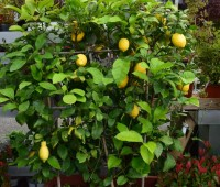 Vivaio: pianta da frutto