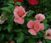 Vivaio: rosa
